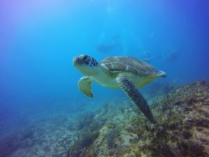 Diver and Turtle diving punta cana