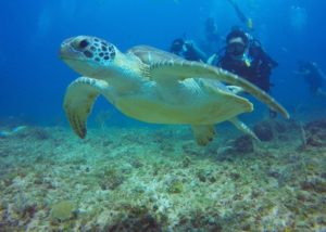 Green Sea Turtle Diving Punta Cana