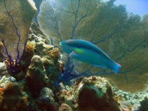 Parrotfish and Coral Punta Cana