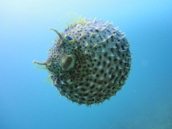 Pufferfish Scuba Diving in Saona Island