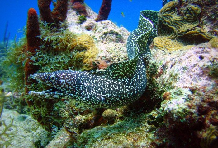 potted Moray Eel Scuba Diving in Saona Island- SeaPro Divers