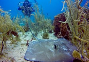 Stingray in Saona Island Diving Excursion