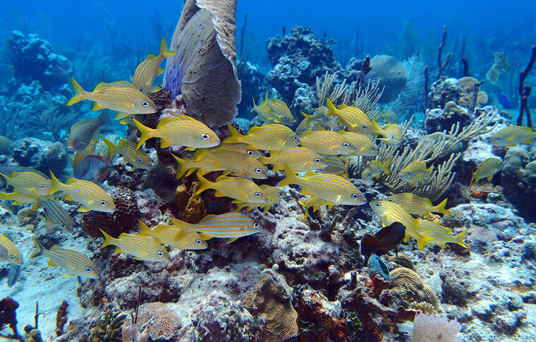 Shoal of yellow fish swimming over the reef