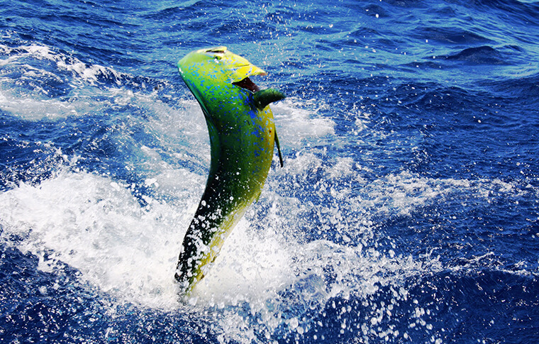 Green and yellow fish leaping out the water