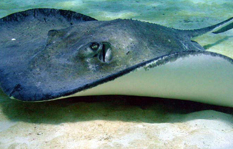 Stingray swimming on the sea bed