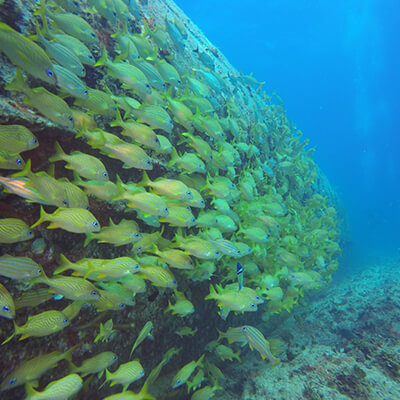 Enormous shoal of yellow fish tunnelling their way through the open ocean