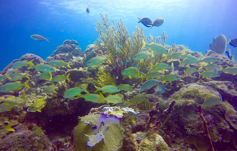 Coral reef teeming with yellow fish