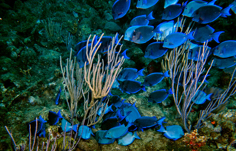 Shoal of blue fish swimming through reef