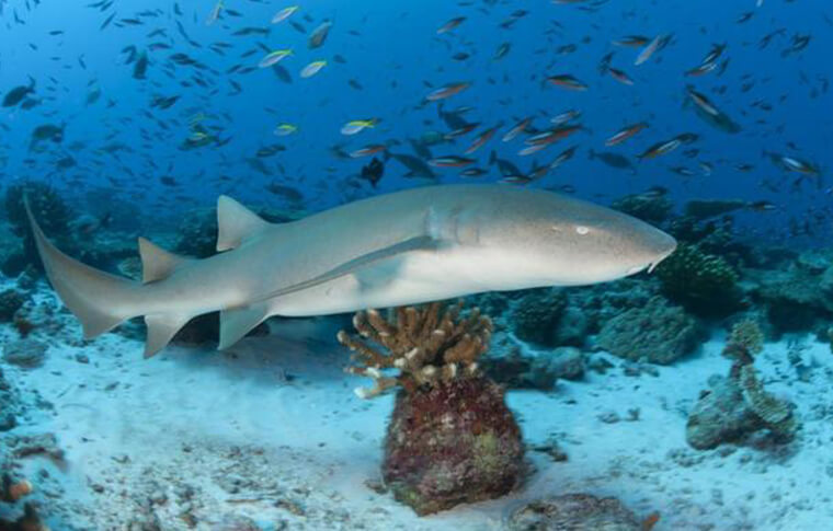 Nurse shark swimming through the reef with hundreds of fish above