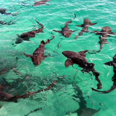 School of sharks swimming close to the surface of the blue water