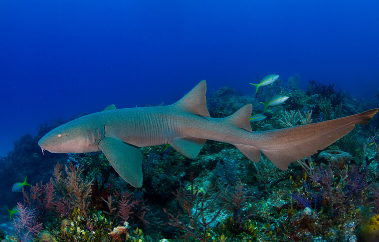 Grey nurse shark swimming through the colourful reef