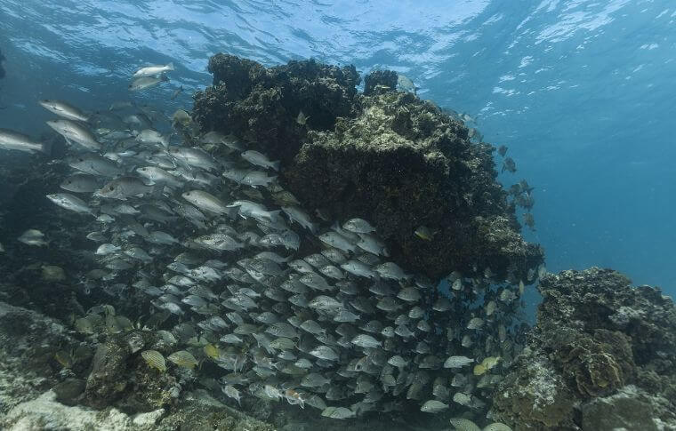 Large shoal of silver fish swimming around a large rock